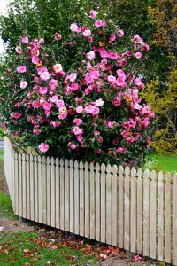 Classic-Picket-Fence Auckland fencing contractor